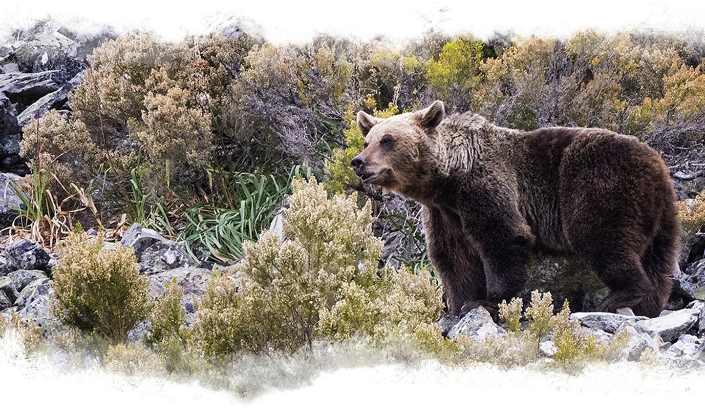 imagen de un oso en plena naturaleza